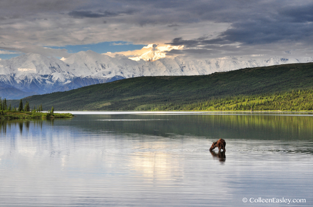 Moose in Wonder Lake, Denali National Park