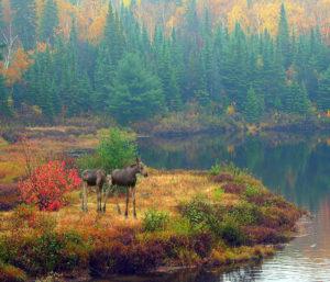 Fall Moose med