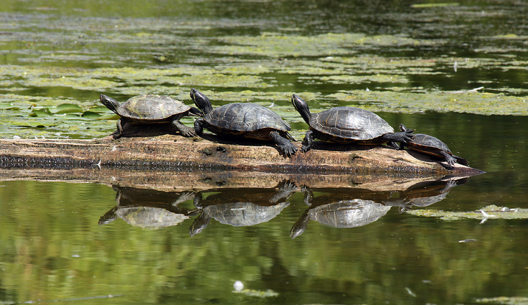 Photo of four turtles on a log